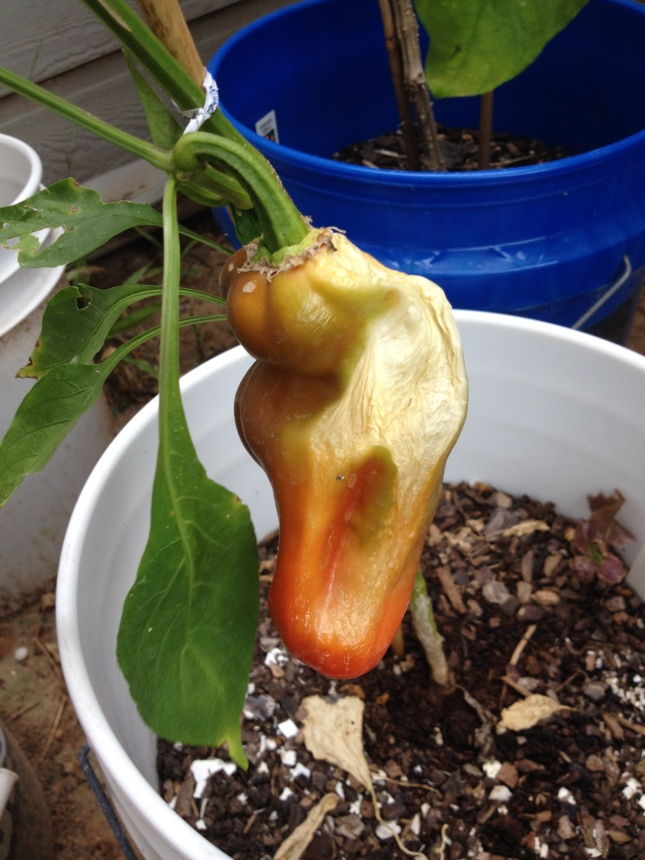 The red bell pepper that almost was.